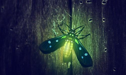 firefly stock art