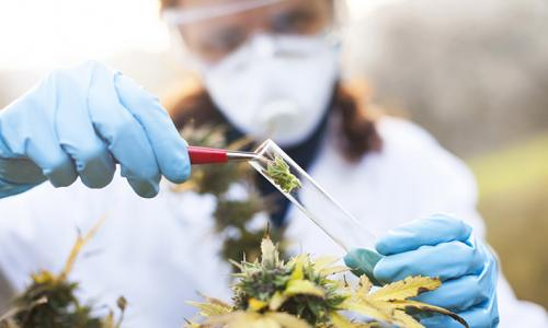 woman putting cannabis in test tube
